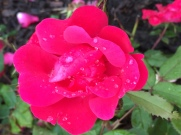 Raindrops on Petals #2